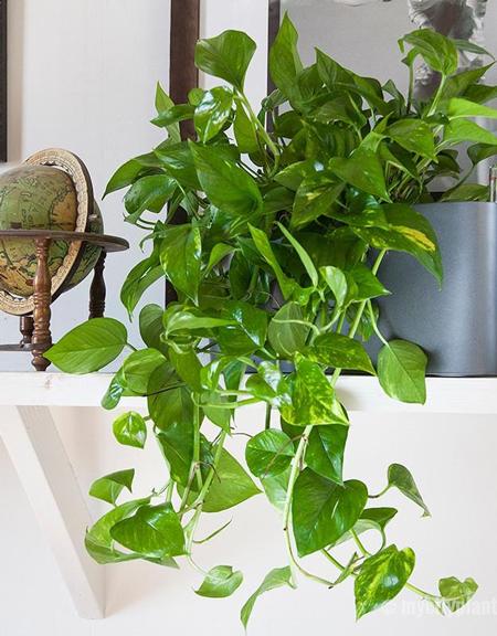 potus-planta-decoracion